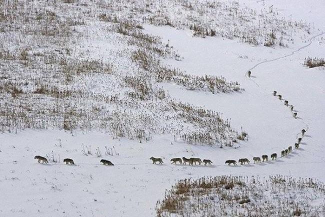 organizare haita lupi