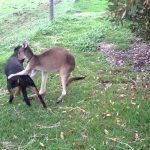 Priviti la uimitoarea prietenie dintre un cangur si un Rotweiler