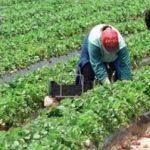ROMÂNII care muncesc la ferme în Danemarca se plâng că sunt UMILIȚI și tratați ca SCLAVII