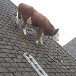 Vacile sunt inteligente?