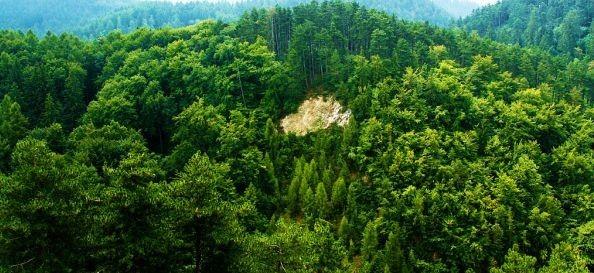 padure conifere tăierile de copaci